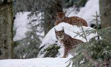 Tunceli'de Yaban Hayvanlarının Avlanması Yasaklandı