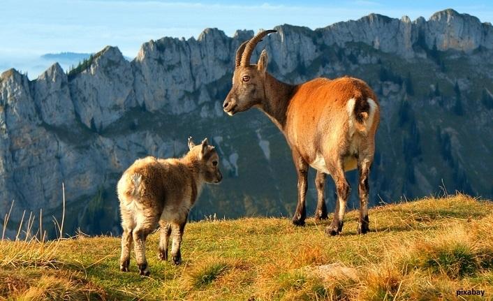 Tunceli'de 17 Dağ Keçisi Avı İçin İhale Açıldı